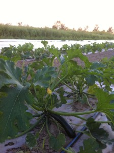 Third --yes, third!-- planting of squash coming along nicely