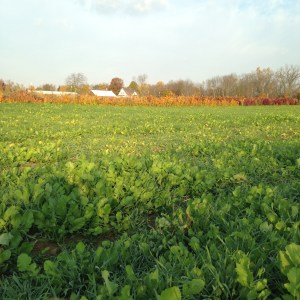Nice planting of cover crop for the winter (winter rye and tillage radish)