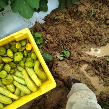 harvesting summer squash