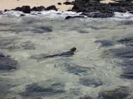 128 Marine iguana