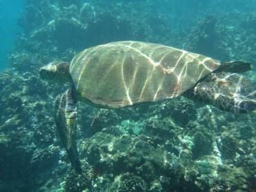 Turtle at Po'olenalena