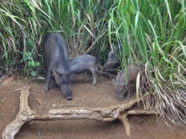 Wild pigs on Kauai