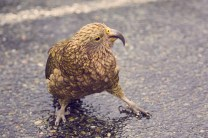 Kea, Papagei, Neuseeland, New Zealand, Südinsel, Milford Sound, frech, listig, verfressen, wunderschön