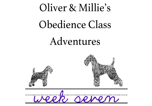 Oliver & Millie's Obedience Class Adventures: Week 7