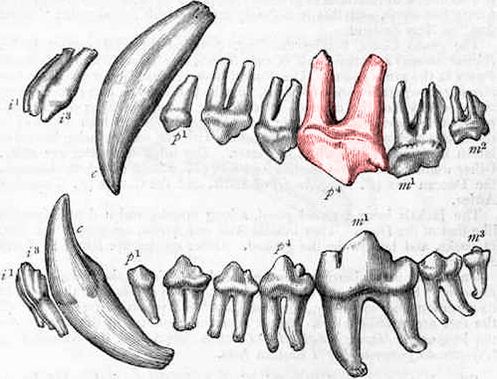 Canine Teeth - Carnassial Tooth