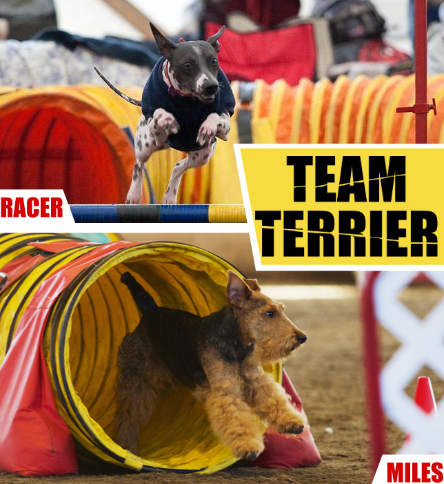Wild Wiry + Hairless Terrier Agility Team Relay