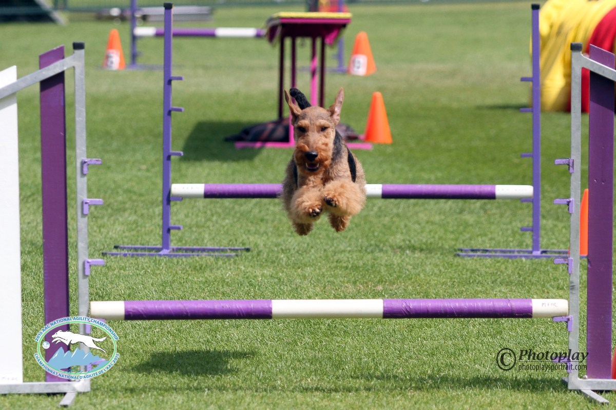 Competitive Agility With a Welsh Terrier: Our First Year in the Big Leagues