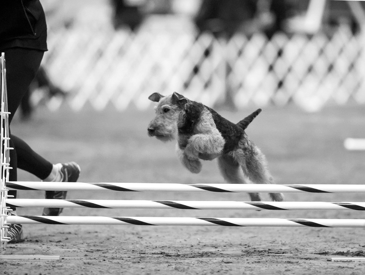 A Welsh Terrier at the 2019 AKC Agility Nationals