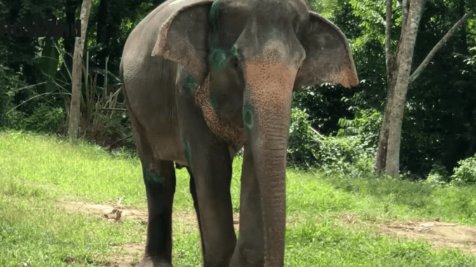 We used miles to fly Singapore Airlines and visit the very inspiring Phuket Elephant Sanctuary in Thailand.