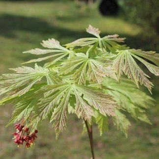 Acer Japonicum Miles Japanese Maples