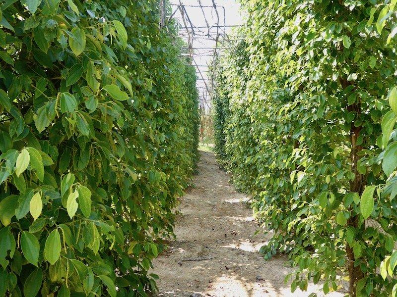 Pepper field in Kampot