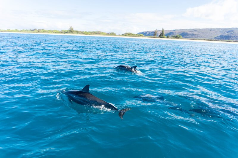 Spinner dolphins in Pacific ocean off of Kauai