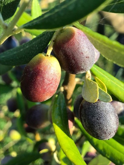 Olive dew (I love you)
