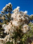 The fluffy blooms of the Baccharis Sarothroides bush