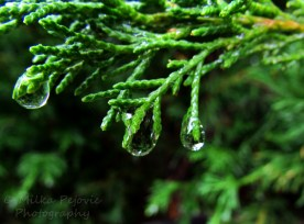 Cee's fun foto challenge: raindrops on green branches