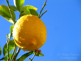 Wordpress weekly photo challenge: Saturated - yellow lemon against blue sky