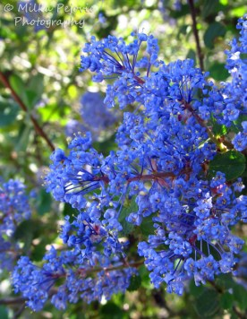 Flower clusters of Ramona lilacs