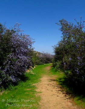 Trail bordered by Ramona lilacs