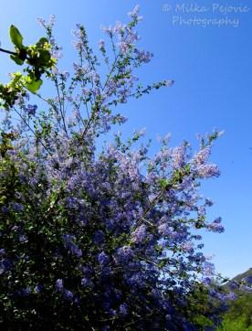 Blooming Ramona lilacs