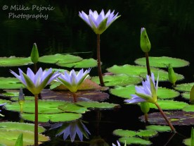 May 2015 - purple water lilies
