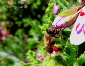 September 2015 - bee gathering pollen in leg bags on pink flower
