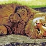 harrow-ginger-cat