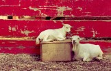 colasantis-kingsville-white-goats