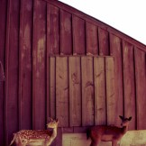 colasantis-kingsville-deer