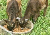 mini goats1
