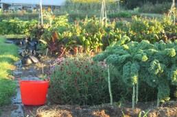 kale harvest bucket