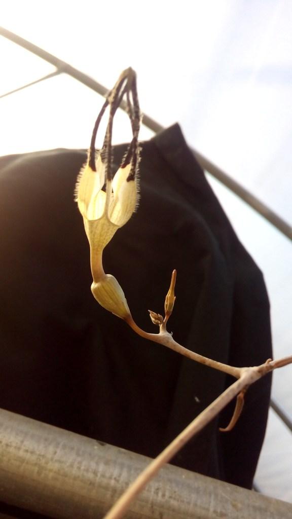 ceropegia-armandii-fiore