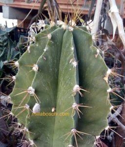 Astrophytum eziolato con spinatura fragile