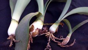 haemanthus albiflos bulbi
