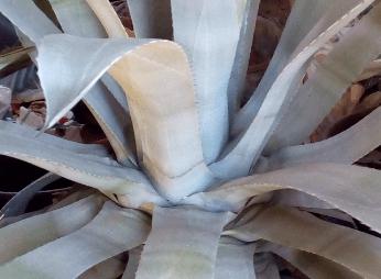 Agave americana: coltivazione e curiosità