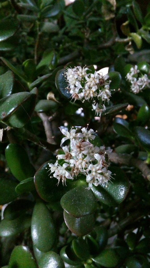 Crassula ovata in fiore