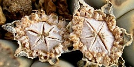 Lithops capsule da seme