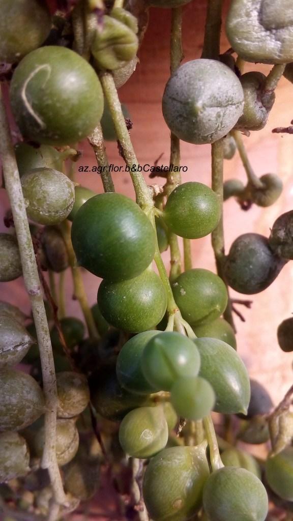 Senecio rowleyanus in ripresa primaverile