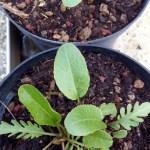 Armoracia rusticana, rafano
