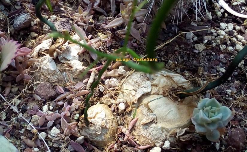 Bowiea volubilis, cresce e arrampica anche 15 cm al giorno