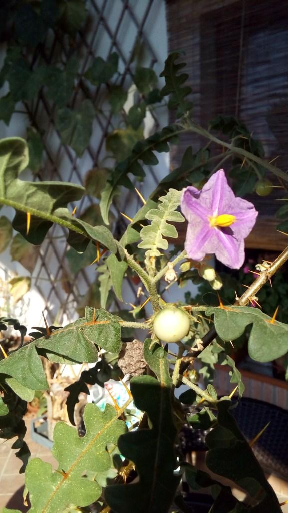 fiore e foglie spinose…sopra e sotto la pagina