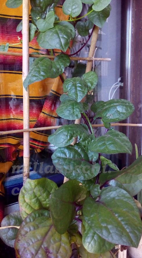 tende vegetali