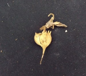 Pedilanthus macrocarpus frutto secco