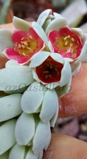Pachyphytum oviferum: la pianta dei confetti