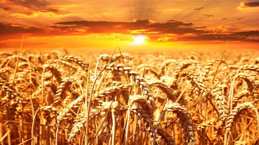 Las micotoxinas en los cultivos
