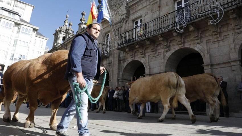 Desfile de ganado en San Froilán Lugo Agricultura