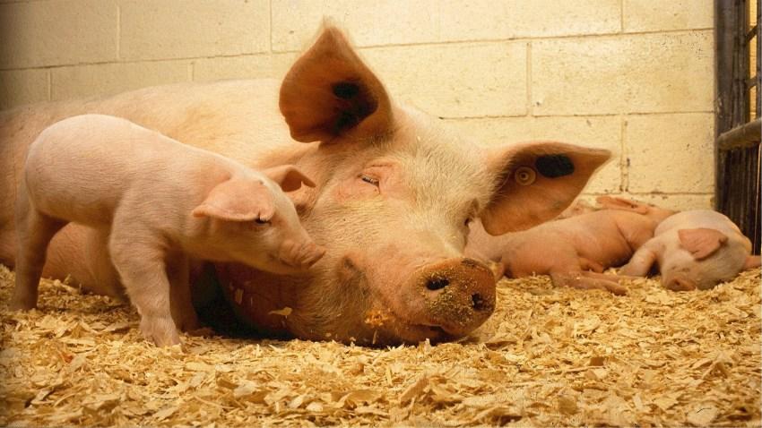Cambios en la normativa para las granjas de porcino1920