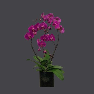Phalaenopsis fushia 3 tiges