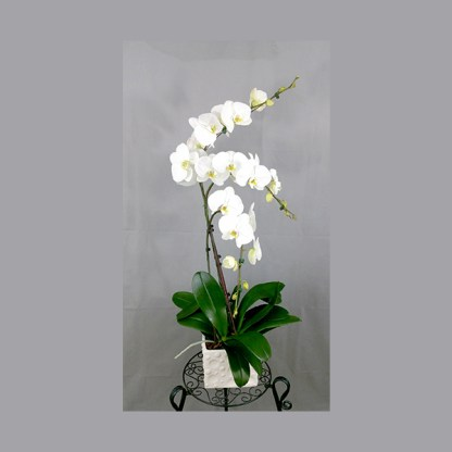 Phalaenopsis blanche 3 tiges