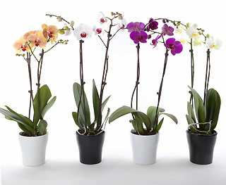 Phalaenopsis colorée 2 tiges