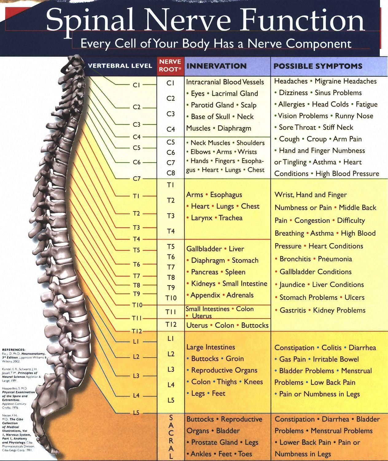 hight resolution of spinalnervechart
